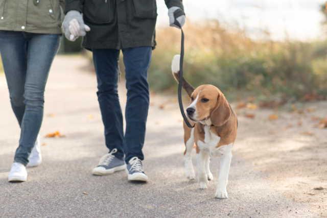 Tri-Colored Beagle