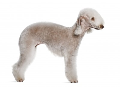 bedlington terrier-cream color