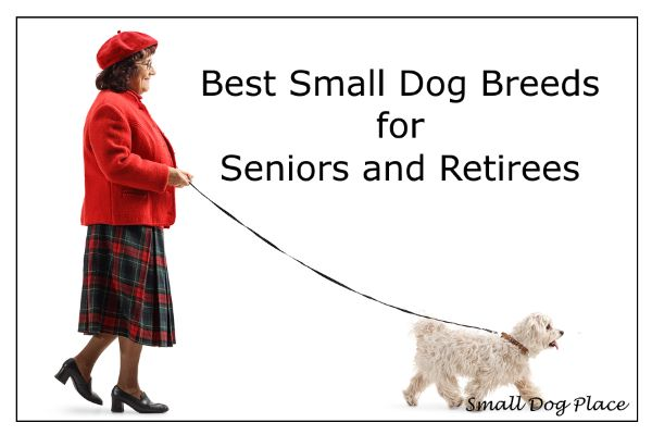 A senior woman is walking her white small breed dog.
