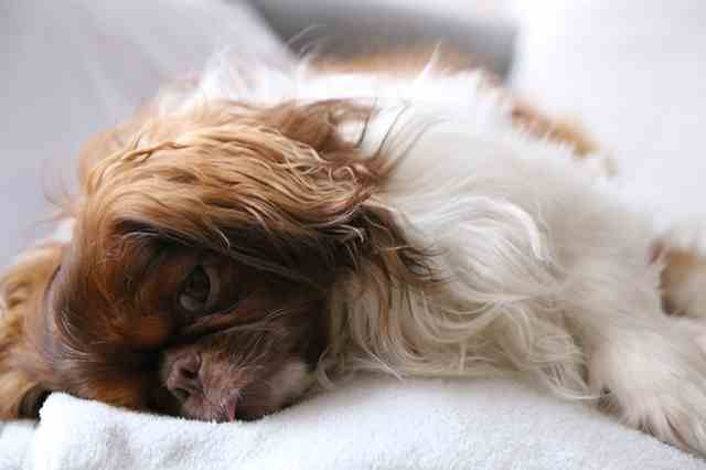 A lethargic dog may be a sign that he is not getting the best dog nutrition.