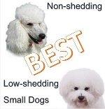 Nonshedding Tiny Dogs