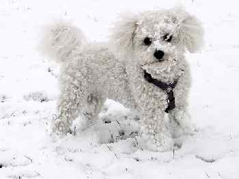 A Bichon Frise in the snow