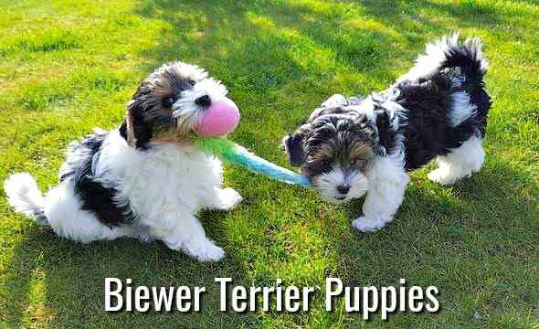 Biewer Terrier Dog Breed Profile