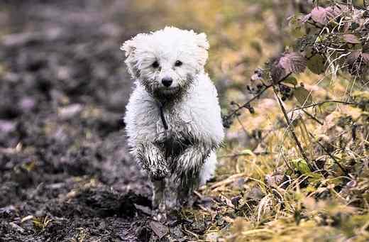 Bolognese, tiny dog breed