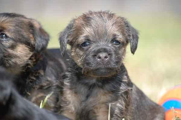 Border Terrier puppies are alert, playful and affectionate.