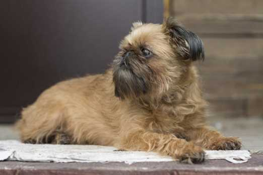 History of the Brussels Griffon