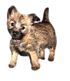 Young Cairn Terrier Puppy