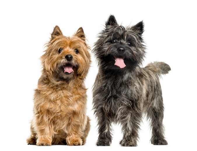 Two Cairn terriers are standing in front of a white background looking at the camera.
