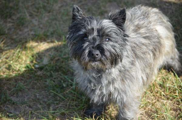 A silver brindle Cairn Terrier looking into the camera.