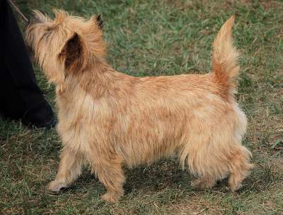 Red colored Cairn Terrier