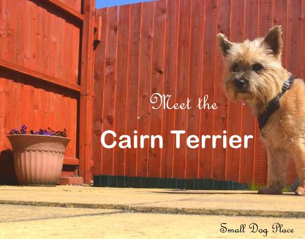A red wheaten Cairn Terrier is standing in front of a red fence.