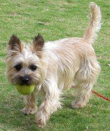 Playful Cairn Terrier