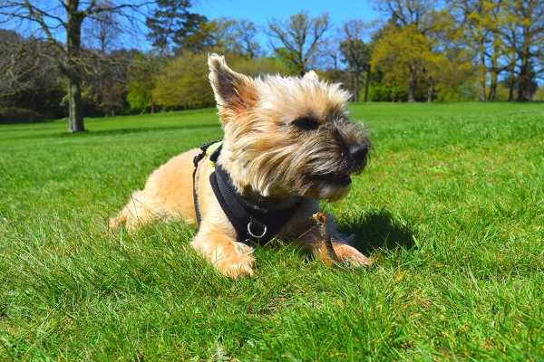 A young Cairn Terrier is laying on the ground