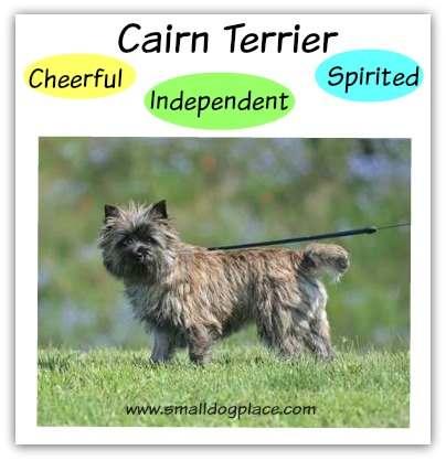 Cairn Terrier:  Cheerful, Independent, Spirited