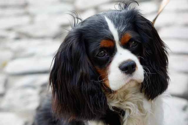 The ultimate lap dog, the Cavalier King Charles Spaniel will charm everyone in his path.