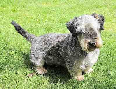 Cesky Terrier on grass