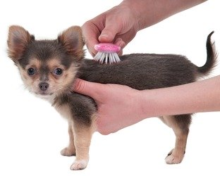 Grooming a Chihuahua Puppy