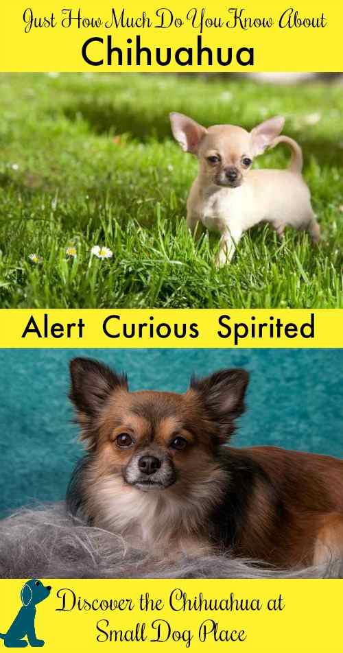 Chihuahua are graceful, alert and loyal but are they the right breed for you?