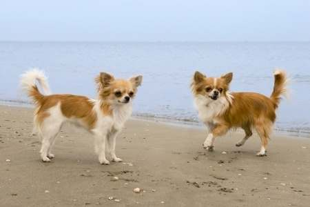 Long haired Chihuahua on the Beach