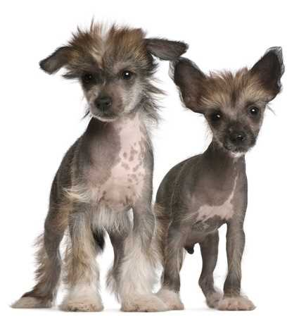 Eight Week Old Chinese Crested Puppies