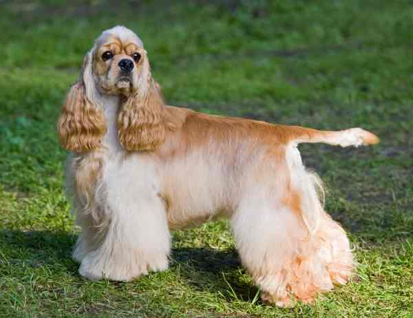 American Cocker Spaniel in a Show Coat