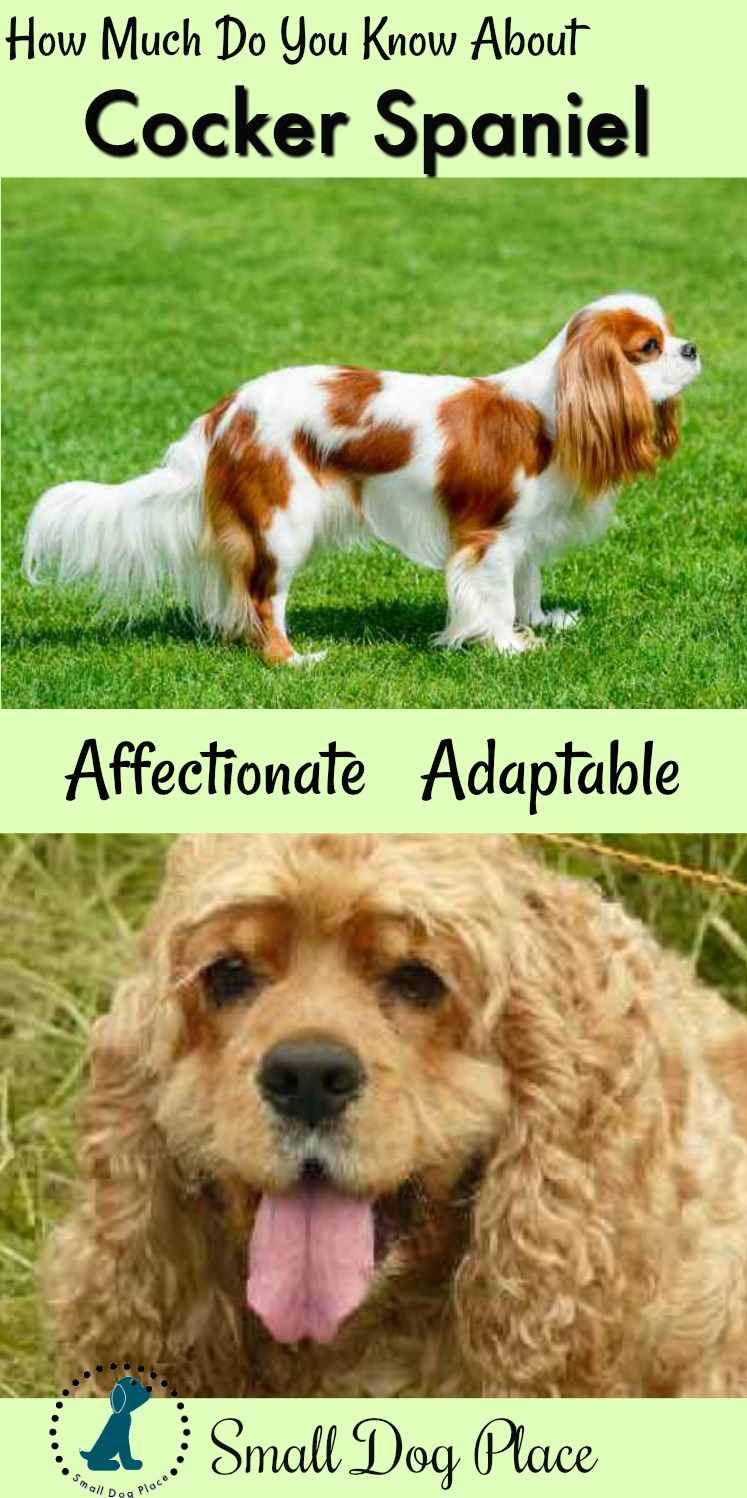 The Cocker Spaniel Dog Breed Profile