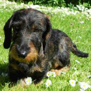 Dachshund Wire-Haired