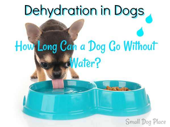 Dehydration in Dogs:  A dog is drinking fro a dog bowl.