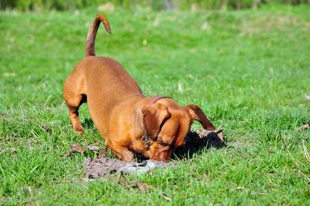 Puppy Behavior Problem:  Digging