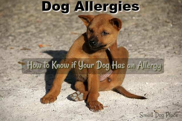 Dog Allergies:  How to Know if Your Dog has an allergy.