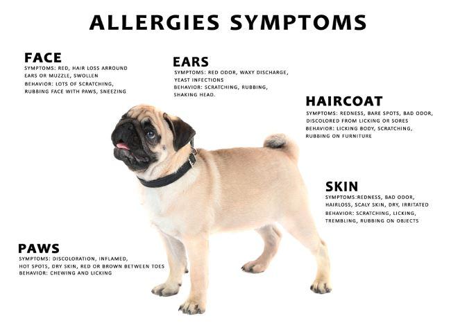 Dog Allergies:  Symptoms