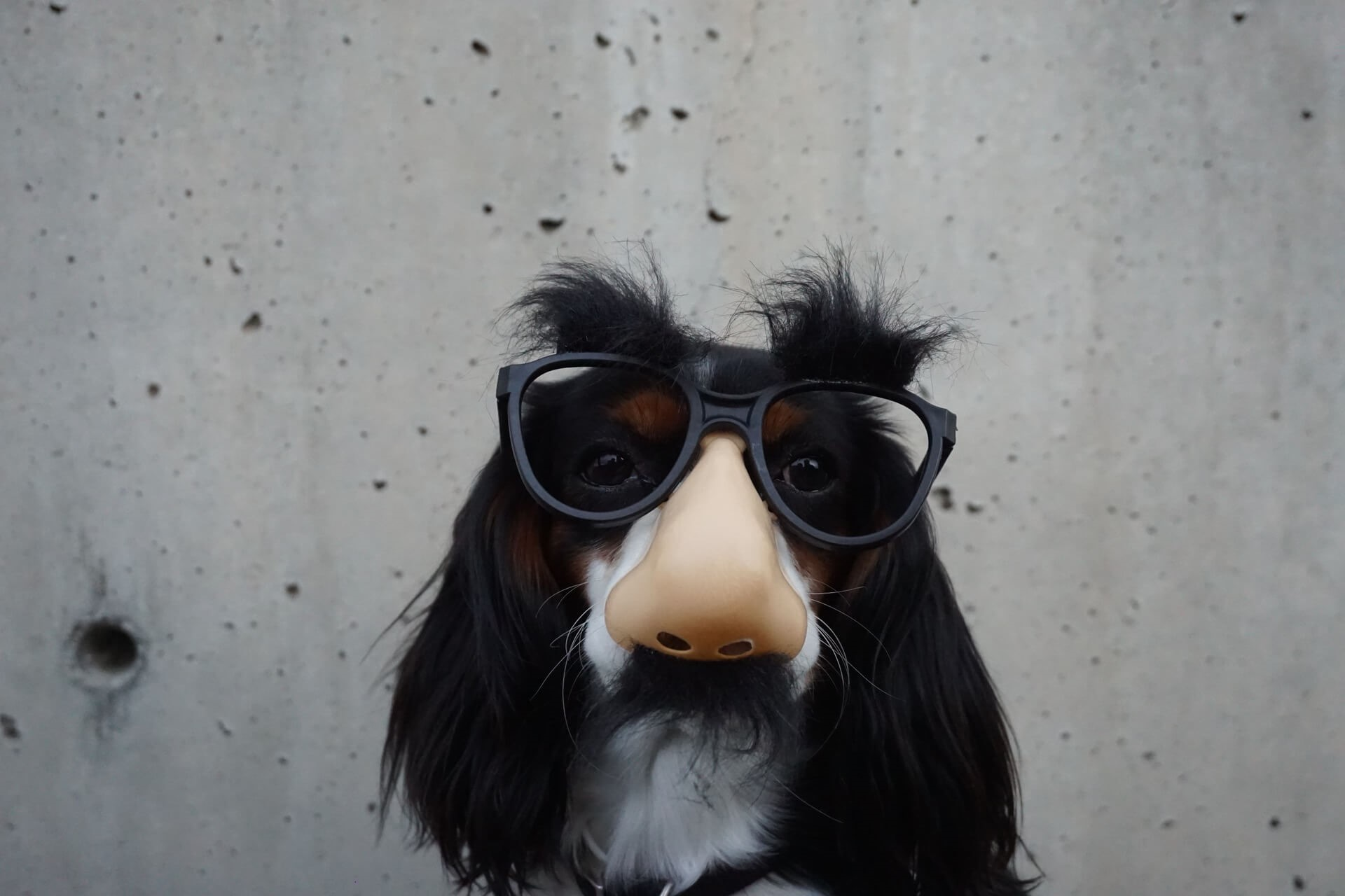 Glasses will not prevent dog eyelid conditions