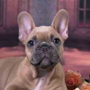 The French Bulldog and His Rounded Ears