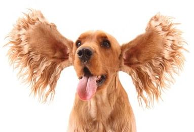 Dog ear infections are common in spaniel breeds.