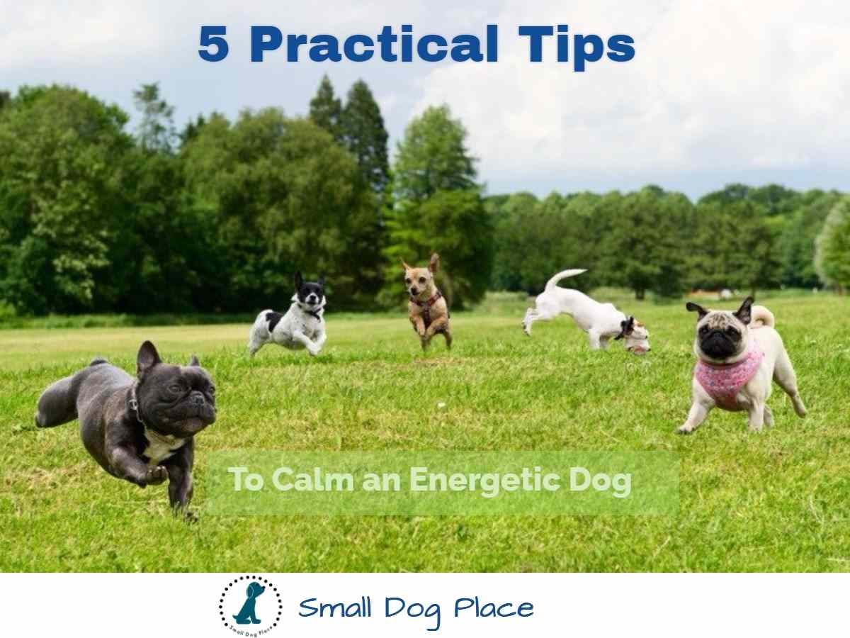 How to Calm an Energetic Small Dog