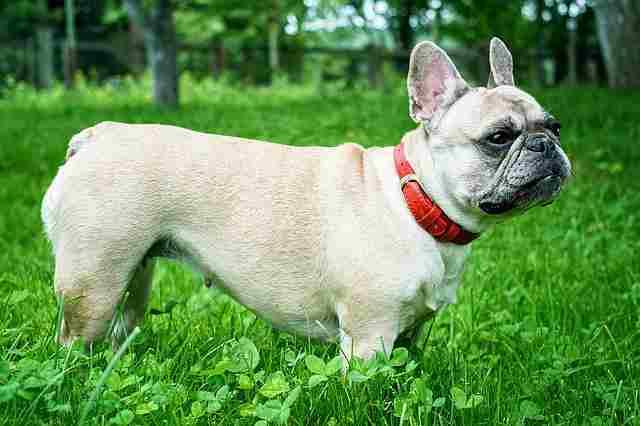 Boy Puppy Names Beginning with F (French Bulldog)