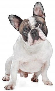Frenh Bulldog