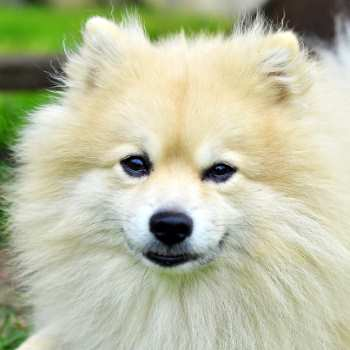German Spitz Klein