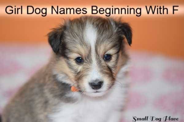 Girl Dog Names Beginning With F:  The puppy facing the camera is a Shetland Sheepdog.