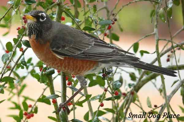 An American robin is perched on a tree of red berries.