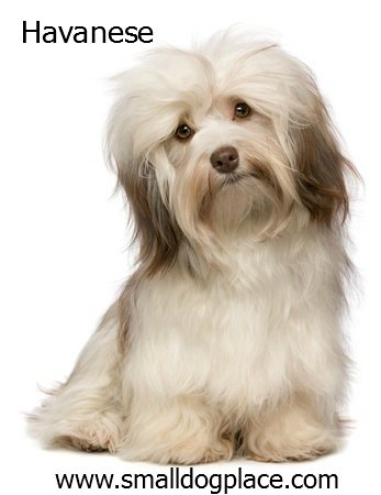 Havanese:  Small Breed Dog that is good with children