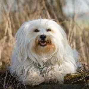 Small white Havanese dog is sitting in a natural environment looking at the camera.