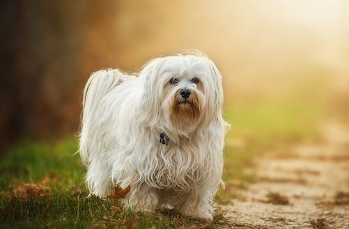 The Havanese Dog Breed