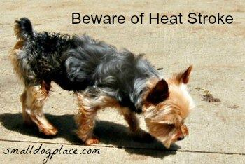 Everything you need to know about Heat Stroke in small dogs