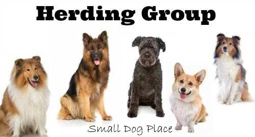 The AKC Herding Group:  All small breeds that fall into this category.
