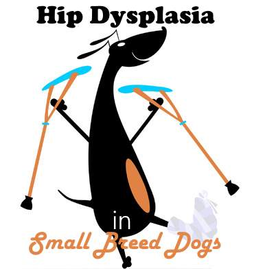 Hip Dysplasia in Small Breed Dogs