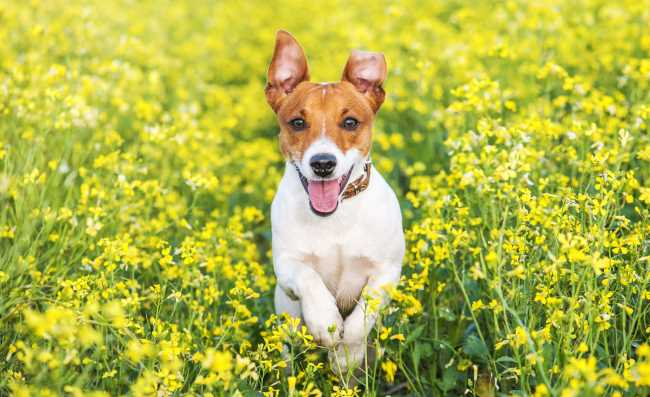 An energetic young Jack Russell is running in the grass.