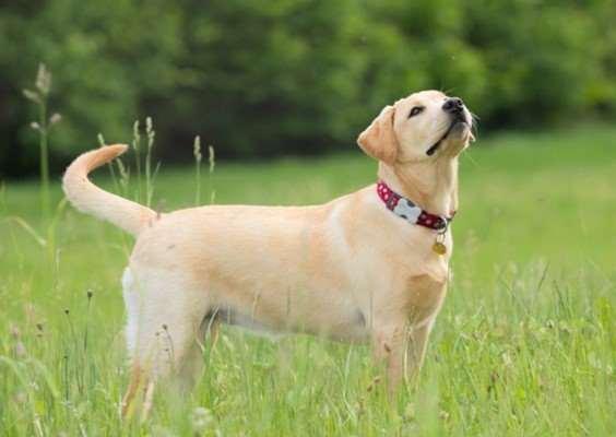 Yellow Labrador Retriever standing in the Grass