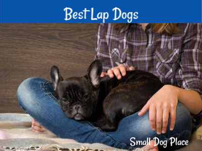 Best small dogs that make great lap dogs.