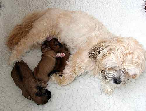 Lhasa Apso Mama with puppies nursing